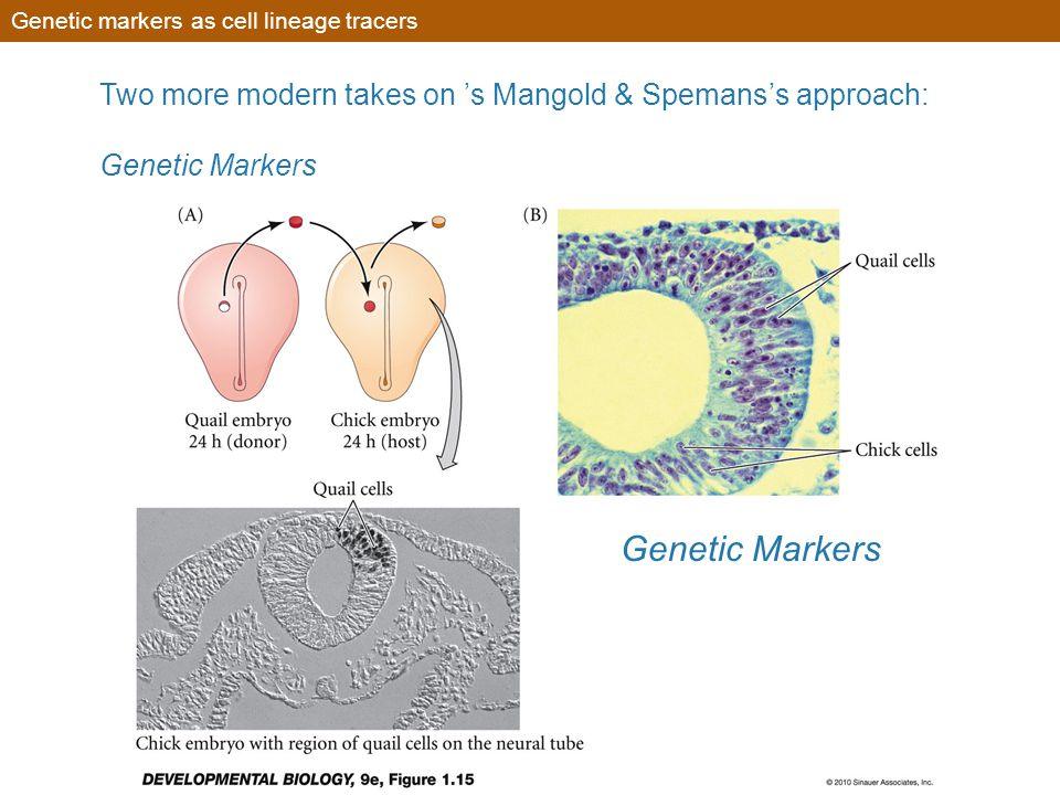 Genetic markers as cell lineage tracers Genetic Markers Two more modern takes on 's Mangold & Spemans's approach: Genetic Markers