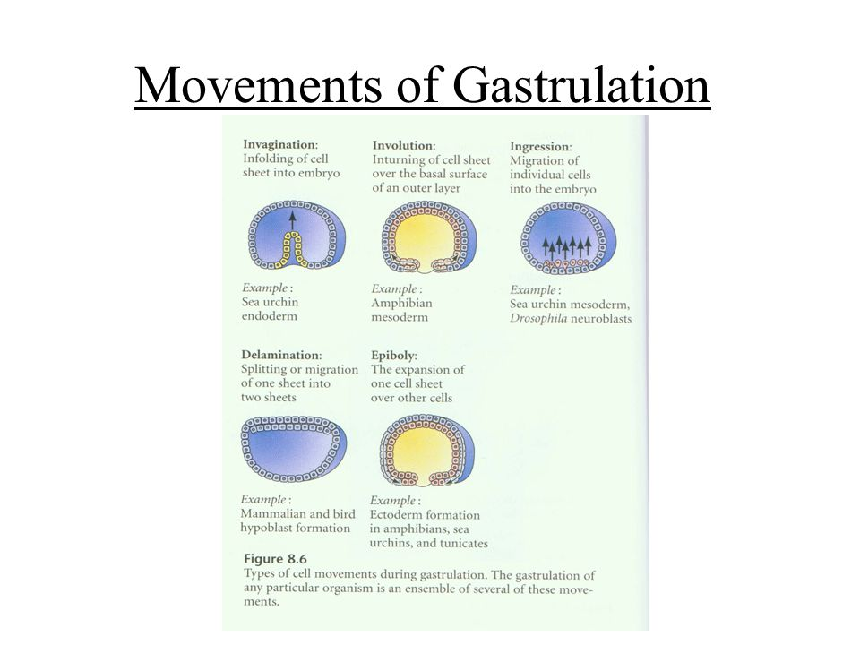 Movements of Gastrulation