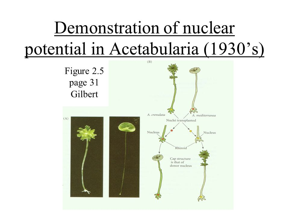Demonstration of nuclear potential in Acetabularia (1930's) Figure 2.5 page 31 Gilbert
