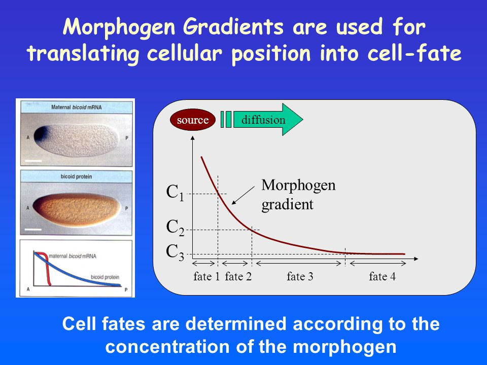 Morphogen Gradients are used for translating cellular position into cell-fate Cell fates are determined according to the concentration of the morphogen C1C1 C2C2 C3C3 fate 1fate 2fate 3 Morphogen gradient fate 4 source diffusion
