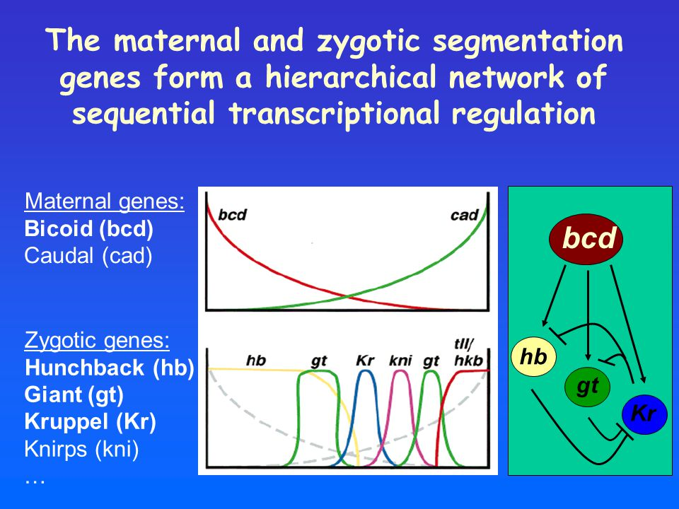 The maternal and zygotic segmentation genes form a hierarchical network of sequential transcriptional regulation Maternal genes: Bicoid (bcd) Caudal (cad) Zygotic genes: Hunchback (hb) Giant (gt) Kruppel (Kr) Knirps (kni) … hb gt Kr bcd