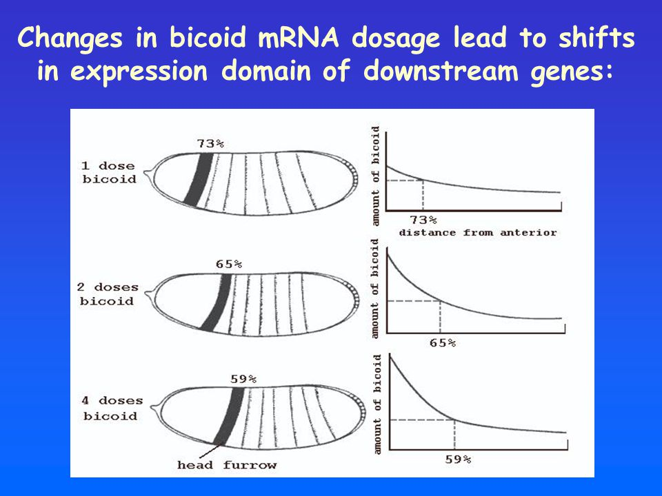 Changes in bicoid mRNA dosage lead to shifts in expression domain of downstream genes: