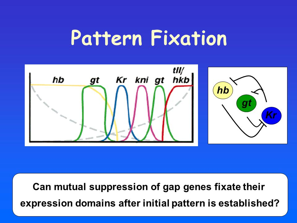 Pattern Fixation hb gt Kr Can mutual suppression of gap genes fixate their expression domains after initial pattern is established?