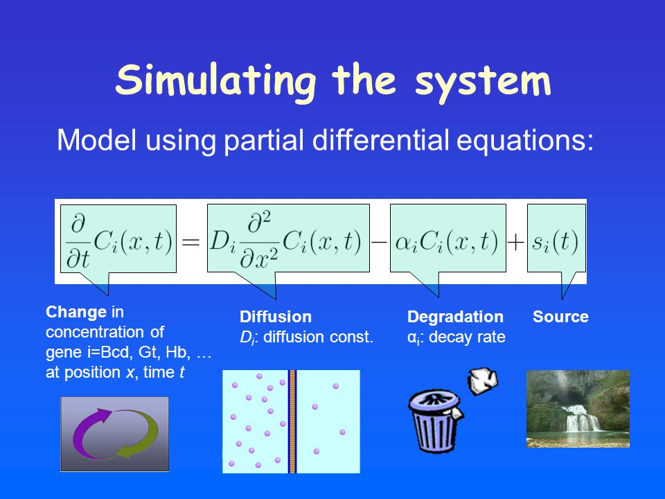 Simulating the system Model using partial differential equations: Change in concentration of gene i=Bcd, Gt, Hb, … at position x, time t Diffusion D i