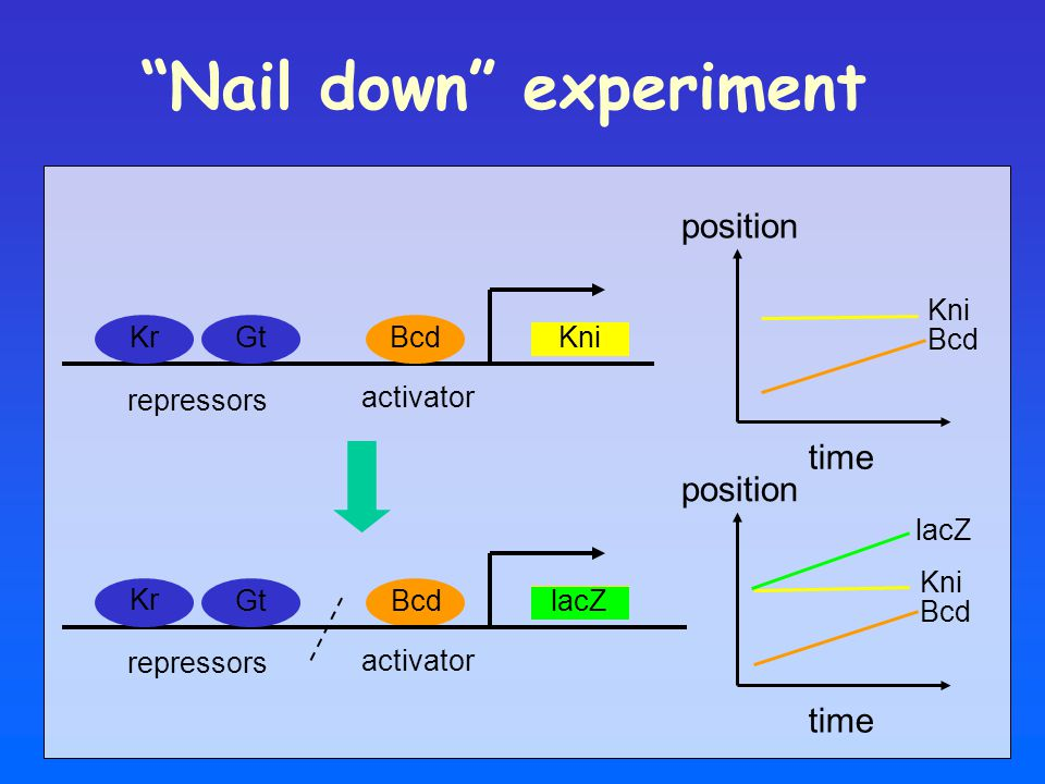 """time """"Nail down"""" experiment Bcd Kni Kr Gt activator repressors Bcd Kni position Bcd Kni lacZ time Bcd Kni activator lacZ Kr Gt repressors"""