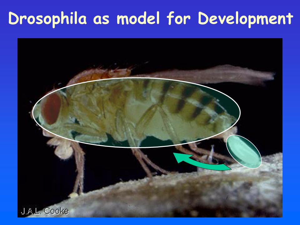 Drosophila as model for Development