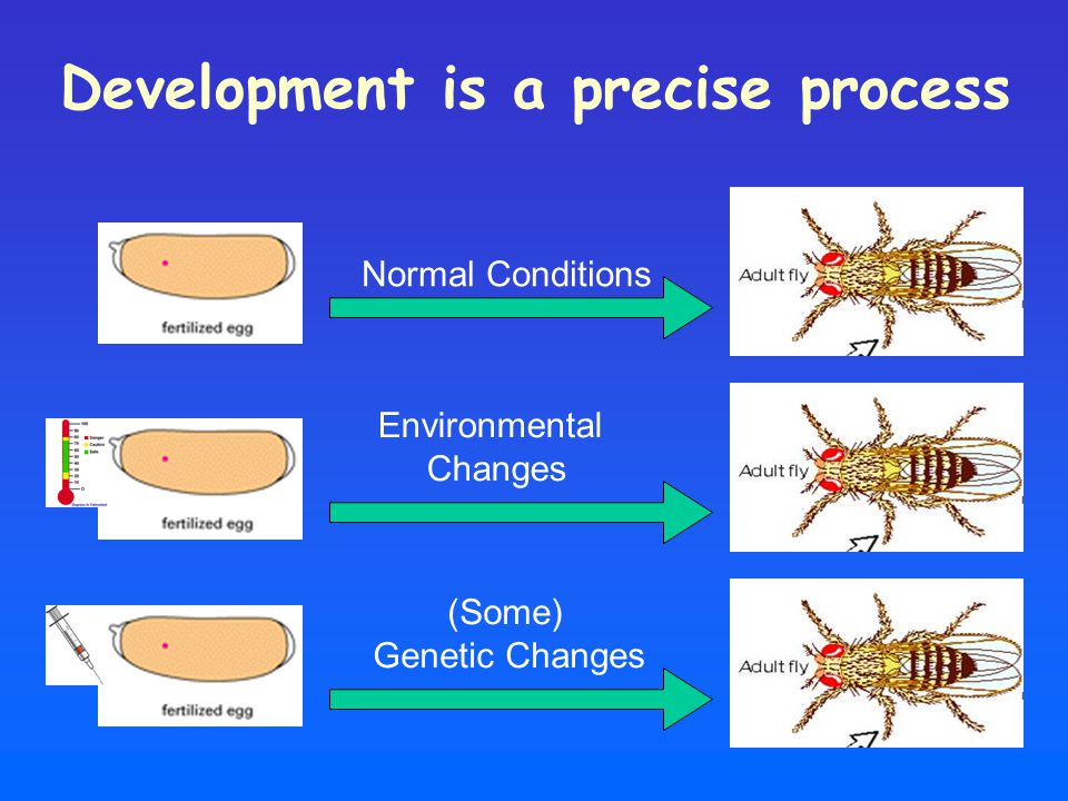 Development is a precise process Normal Conditions Environmental Changes (Some) Genetic Changes