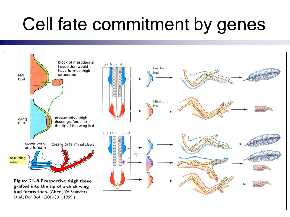 Cell fate commitment by genes