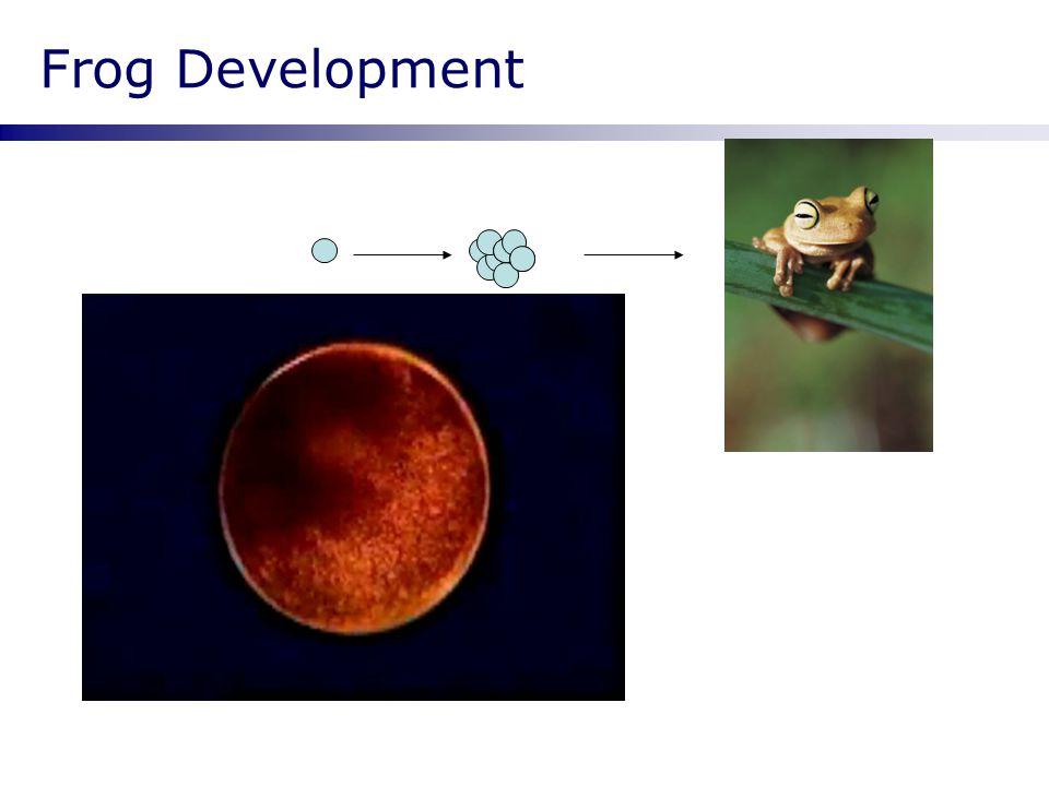 Frog Development