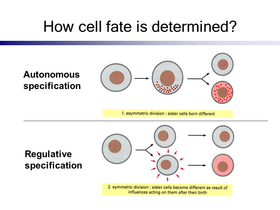 How cell fate is determined? Autonomous specification Regulative specification