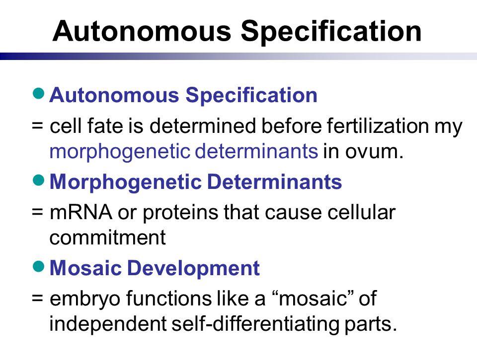 Autonomous Specification  Autonomous Specification = cell fate is determined before fertilization my morphogenetic determinants in ovum.  Morphogene
