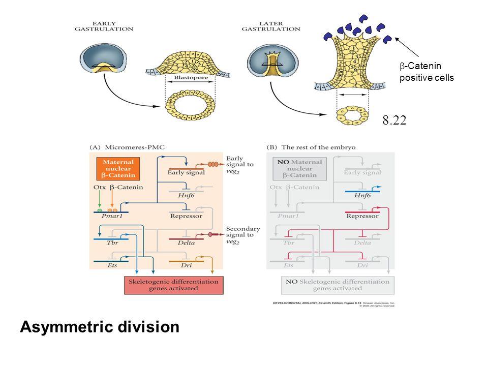 Asymmetric division 8.22  -Catenin positive cells