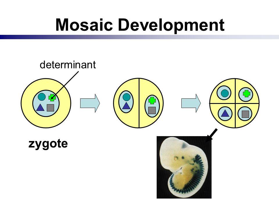 Mosaic Development zygote determinant