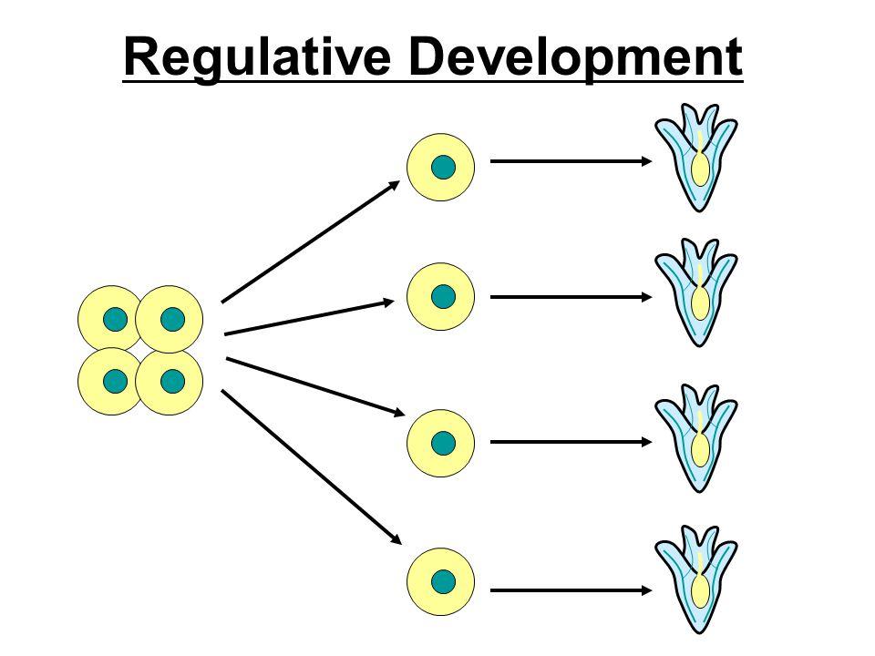 Regulative Development
