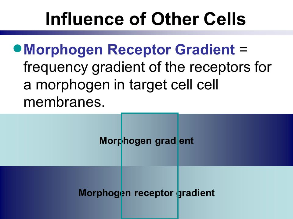 Influence of Other Cells  Morphogen Receptor Gradient = frequency gradient of the receptors for a morphogen in target cell cell membranes. Morphogen
