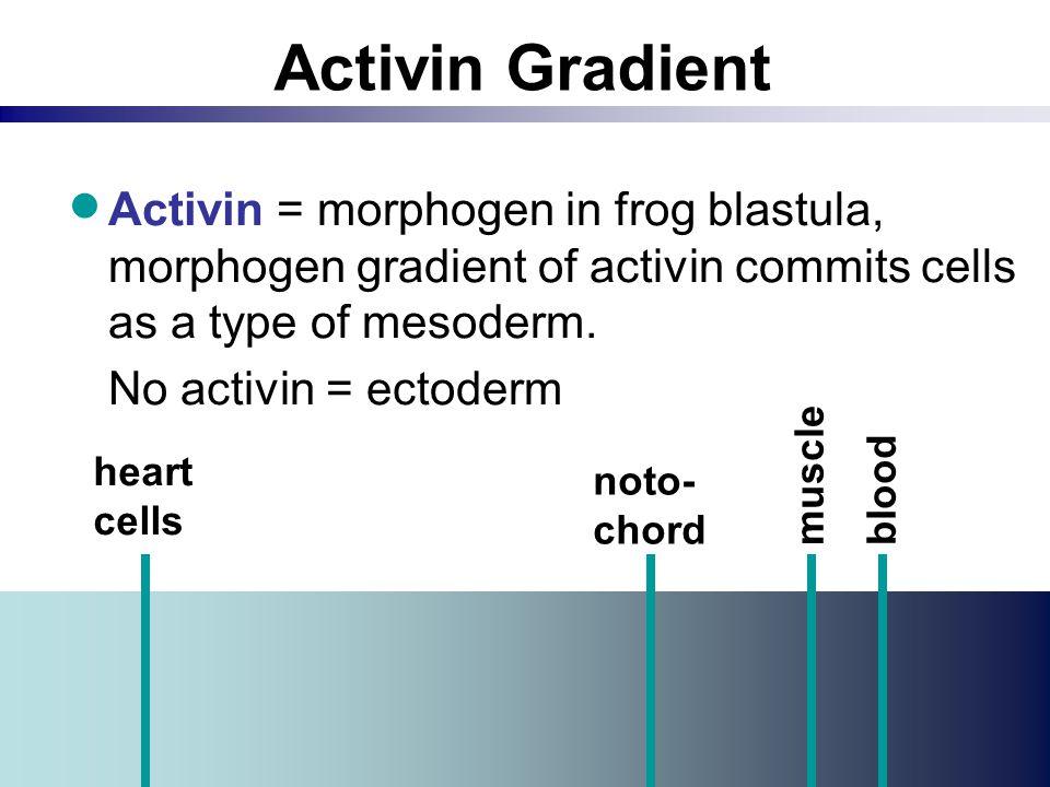 Activin Gradient  Activin = morphogen in frog blastula, morphogen gradient of activin commits cells as a type of mesoderm. No activin = ectoderm hear