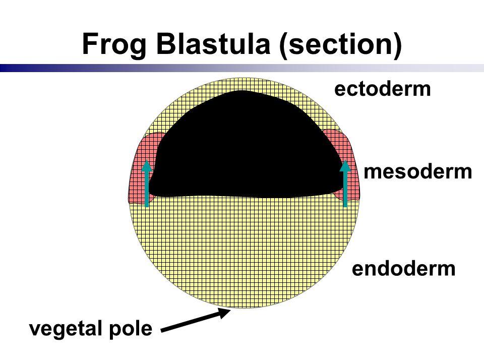 Frog Blastula (section) vegetal pole blastocoel ectoderm mesoderm endoderm