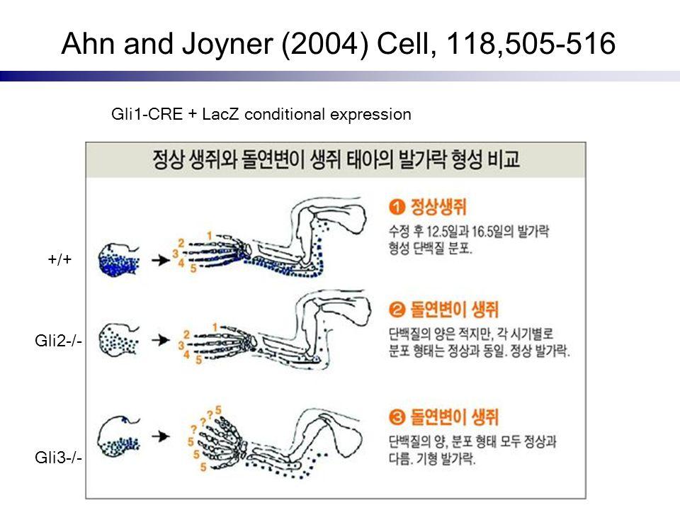 Ahn and Joyner (2004) Cell, 118,505-516 Gli2-/- Gli3-/- +/+ Gli1-CRE + LacZ conditional expression