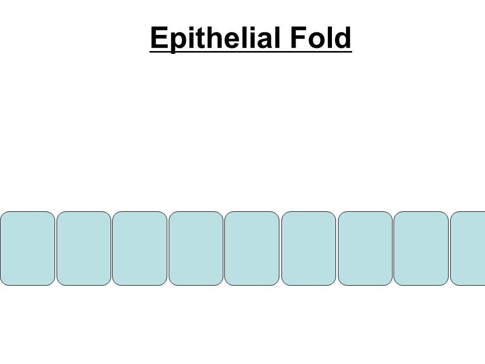 Epithelial Fold