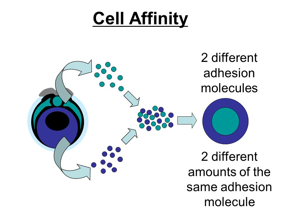 Cell Affinity 2 different adhesion molecules 2 different amounts of the same adhesion molecule