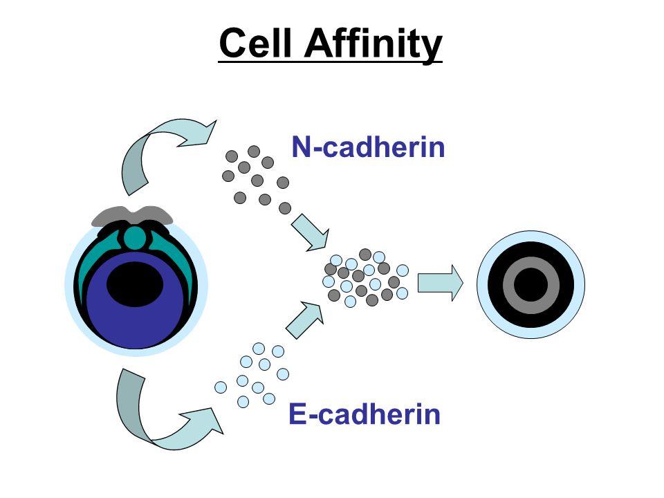 Cell Affinity N-cadherin E-cadherin