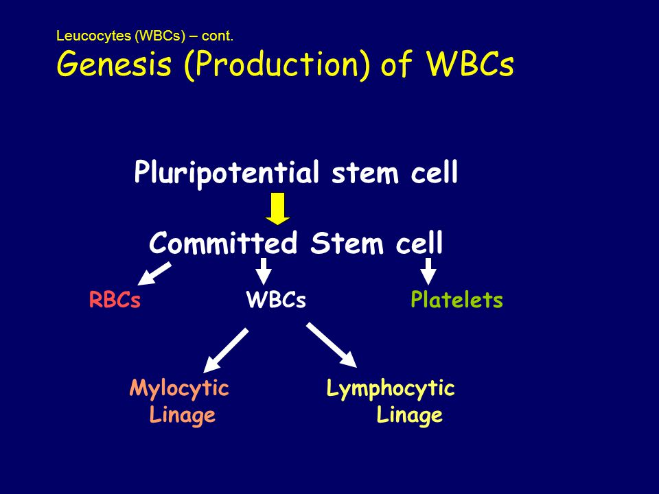 Leucocytes (WBCs) – cont. Genesis (Production) of WBCs Pluripotential stem cell Committed Stem cell RBCs WBCs Platelets MylocyticLymphocytic Linage