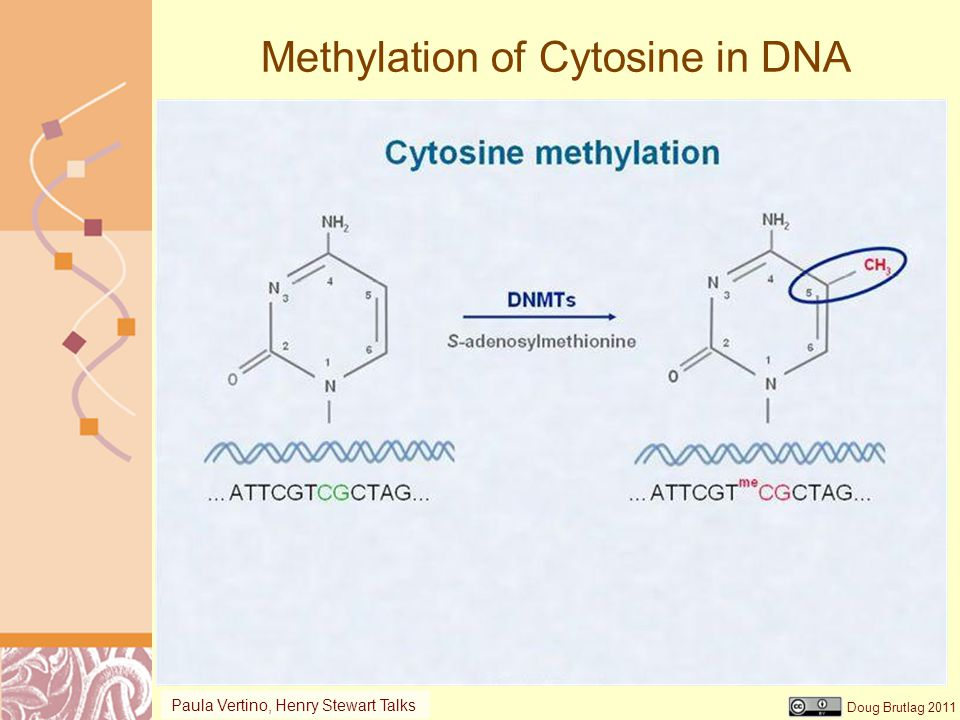 Doug Brutlag 2011 Methylation of Cytosine in DNA Paula Vertino, Henry Stewart Talks