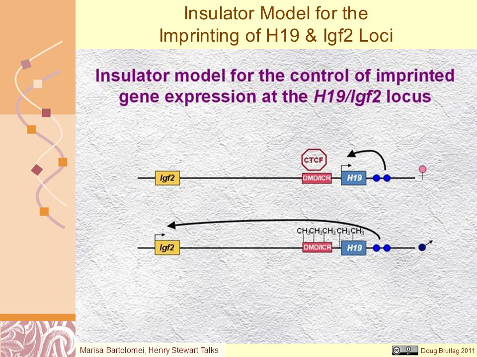 Doug Brutlag 2011 Insulator Model for the Imprinting of H19 & Igf2 Loci Marisa Bartolomei, Henry Stewart Talks