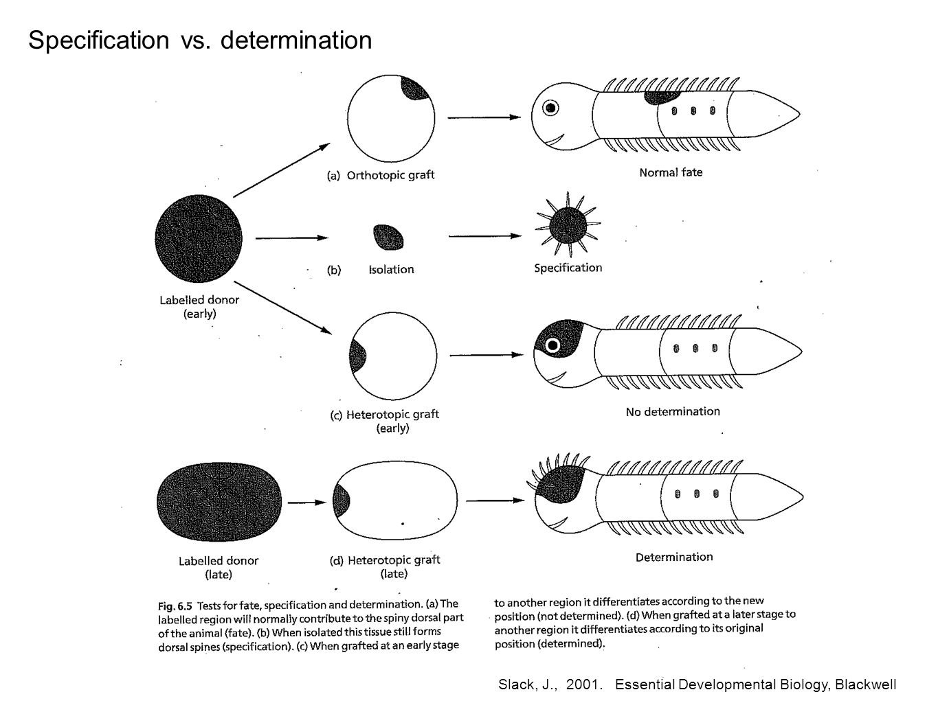 Slack, J., 2001. Essential Developmental Biology, Blackwell Specification vs. determination