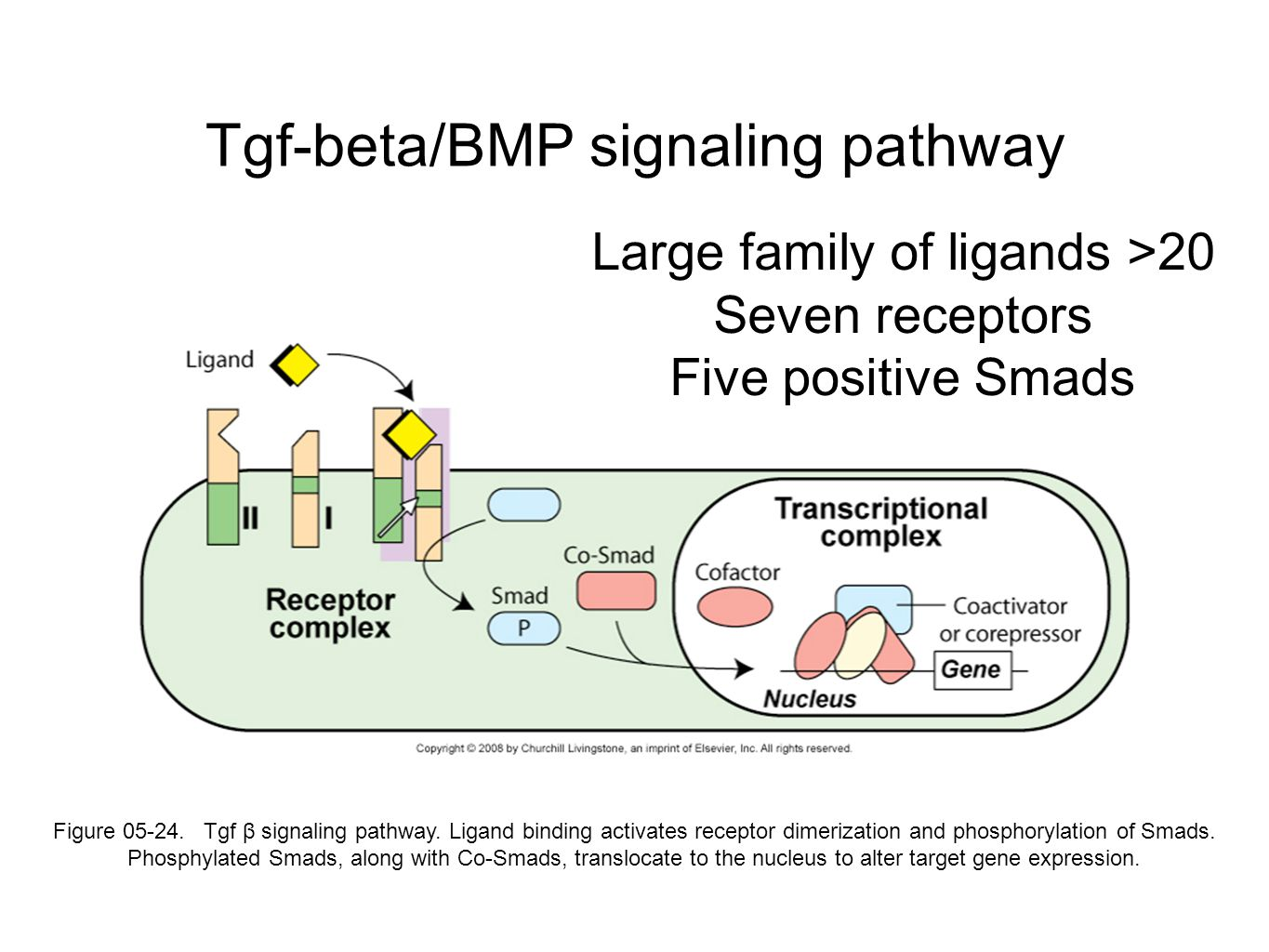 Tgf-beta/BMP signaling pathway Figure 05-24. Tgf β signaling pathway.