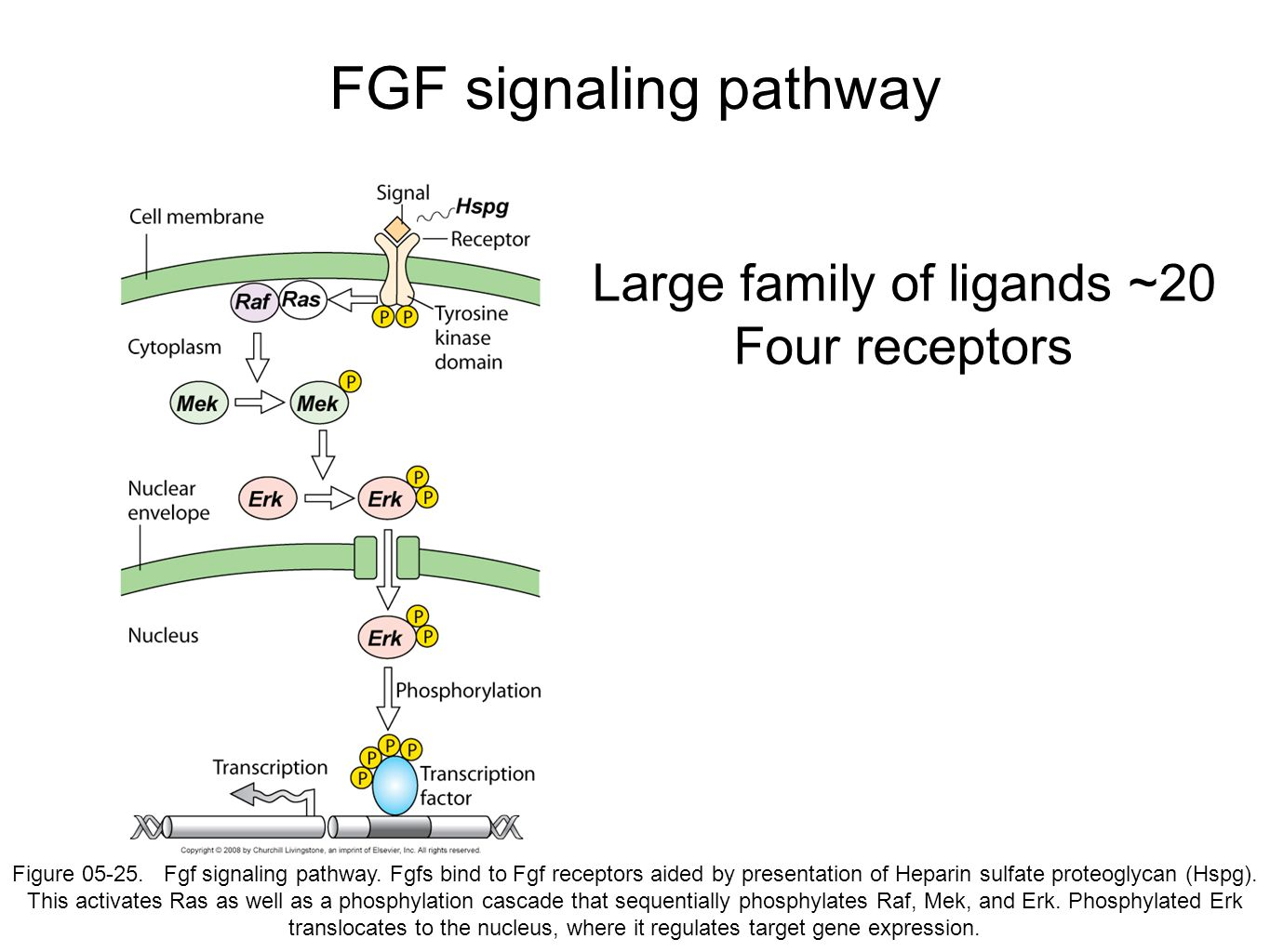 FGF signaling pathway Figure 05-25. Fgf signaling pathway. Fgfs bind to Fgf receptors aided by presentation of Heparin sulfate proteoglycan (Hspg). Th
