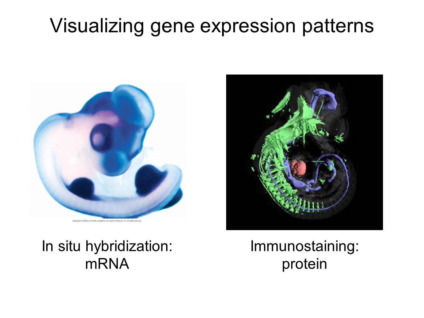 Visualizing gene expression patterns In situ hybridization: mRNA Immunostaining: protein