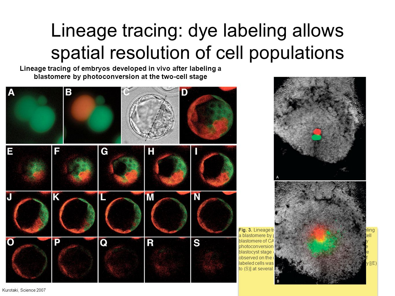 Lineage tracing: dye labeling allows spatial resolution of cell populations Fig.