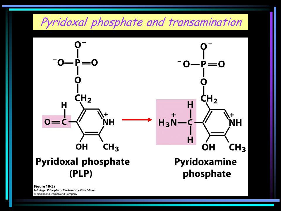 Pyridoxal phosphate and transamination