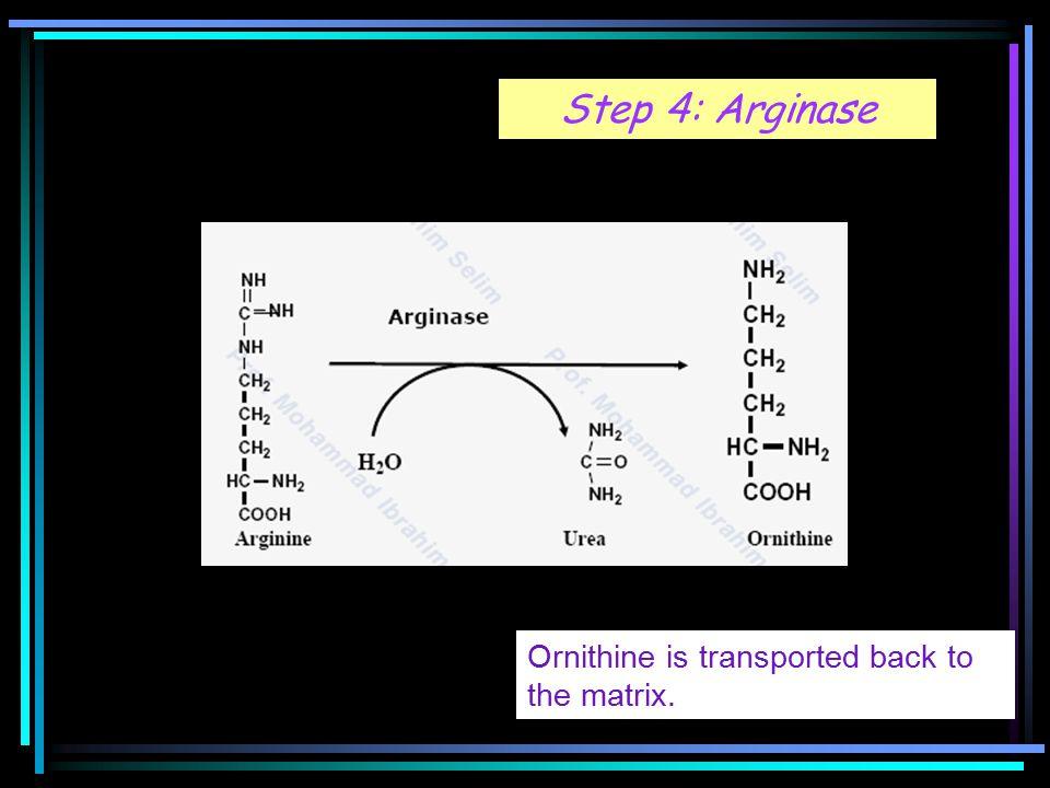 Step 4: Arginase Ornithine is transported back to the matrix.