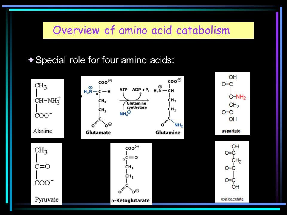 Overview of amino acid catabolism  Special role for four amino acids: