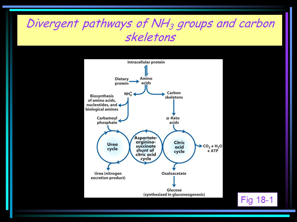 Fig 18-1 Divergent pathways of NH 3 groups and carbon skeletons Fig 18-1