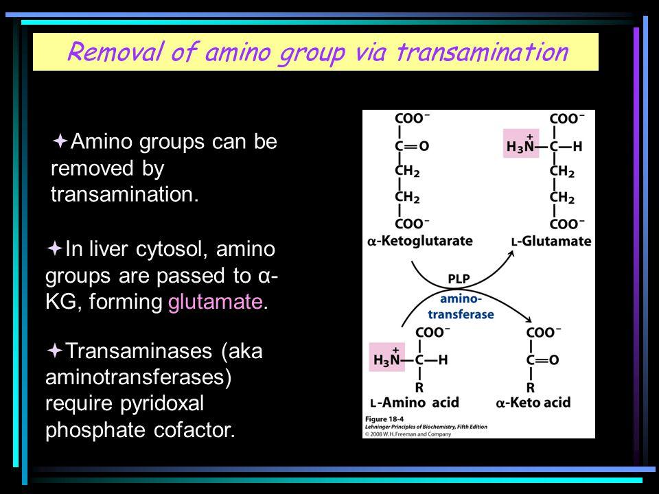 Removal of amino group via transamination  Amino groups can be removed by transamination.