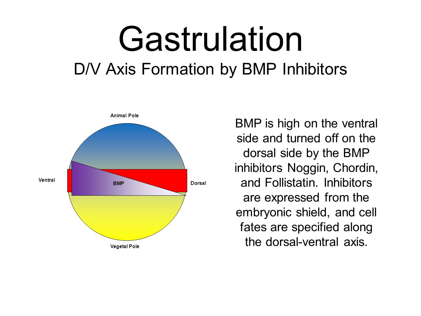Gastrulation D/V Axis Formation by BMP Inhibitors BMP is high on the ventral side and turned off on the dorsal side by the BMP inhibitors Noggin, Chor