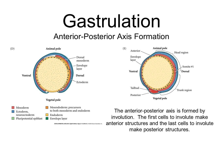Gastrulation Anterior-Posterior Axis Formation The anterior-posterior axis is formed by involution. The first cells to involute make anterior structur