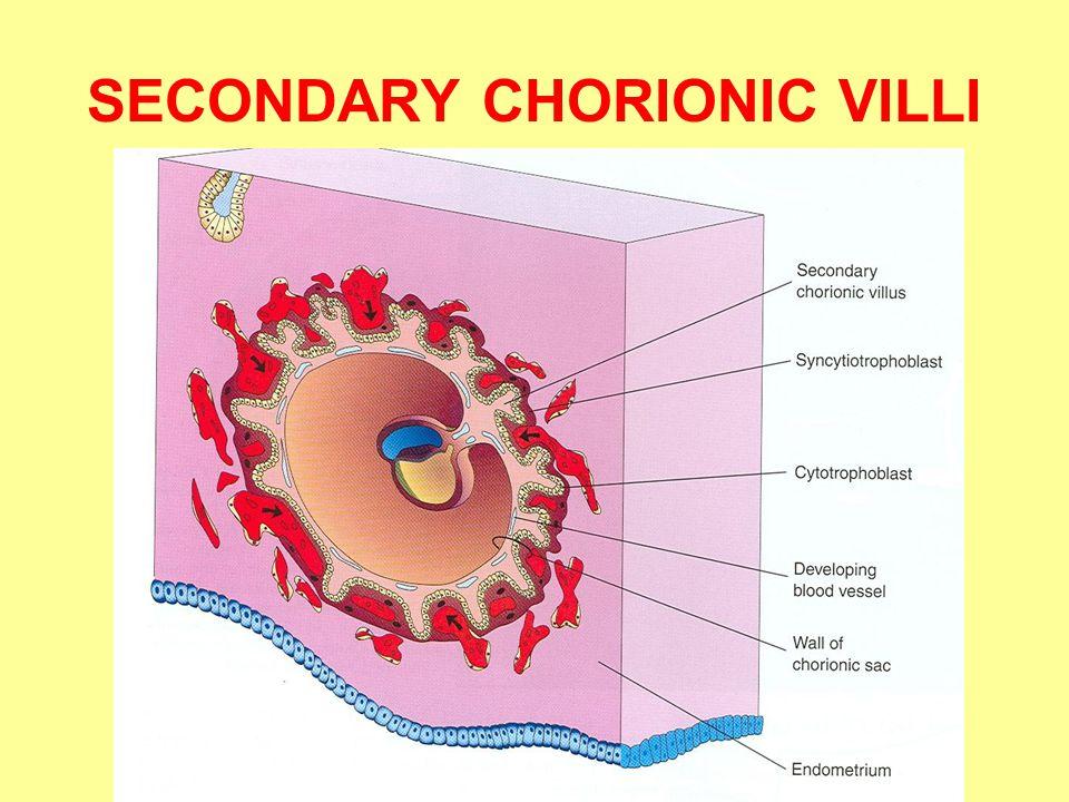 SECONDARY CHORIONIC VILLI