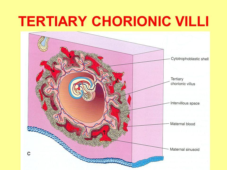 TERTIARY CHORIONIC VILLI