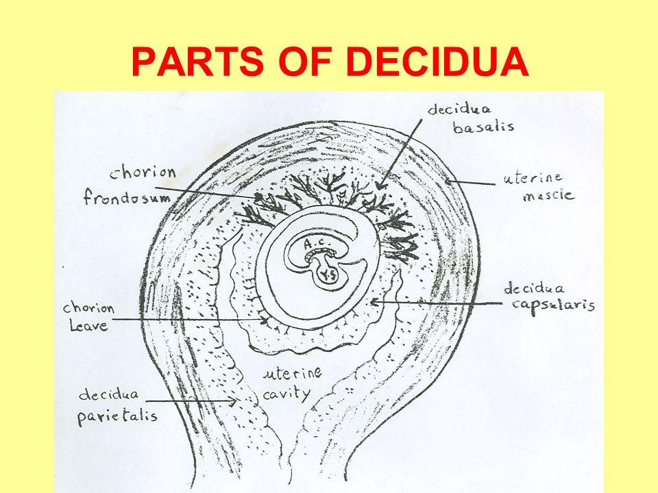 PARTS OF DECIDUA