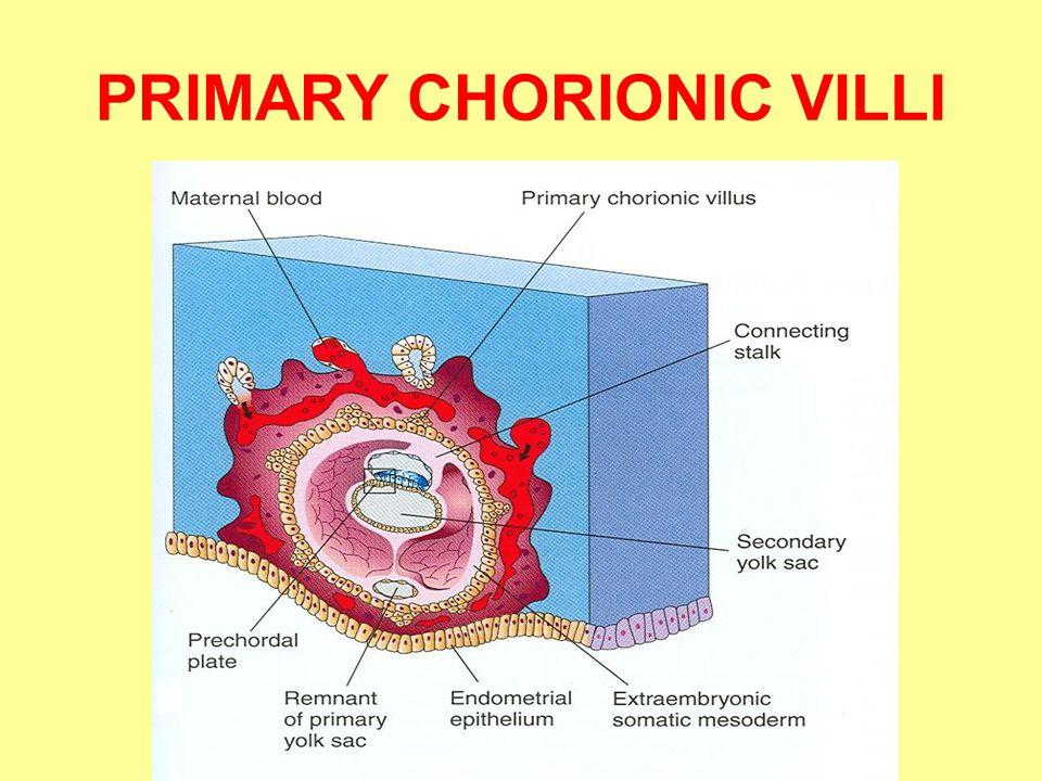PRIMARY CHORIONIC VILLI