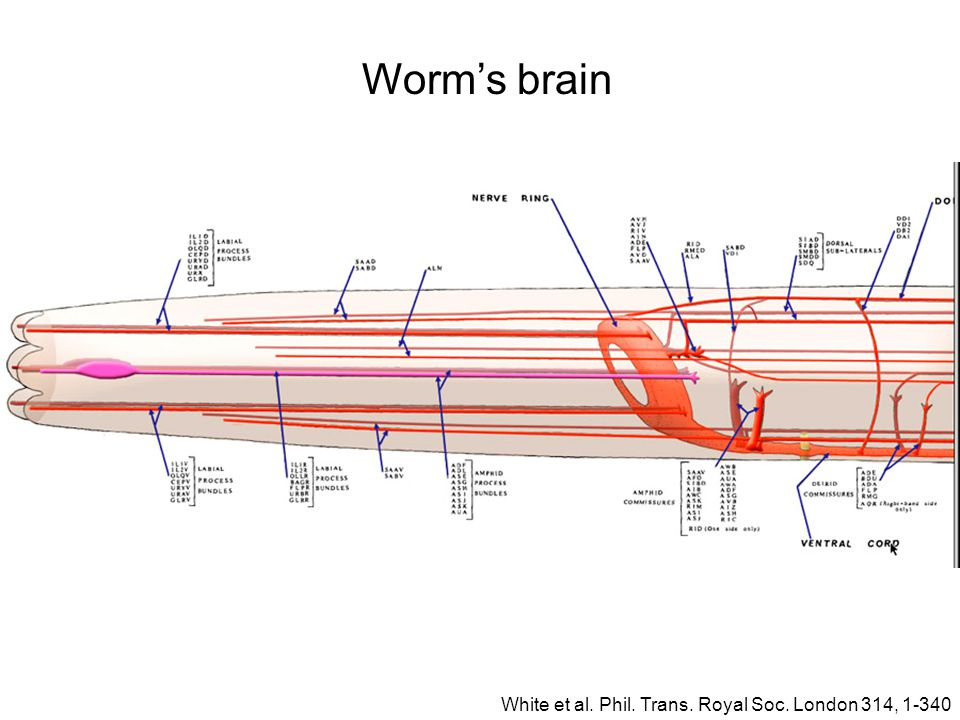Worm's brain White et al. Phil. Trans. Royal Soc. London 314, 1-340