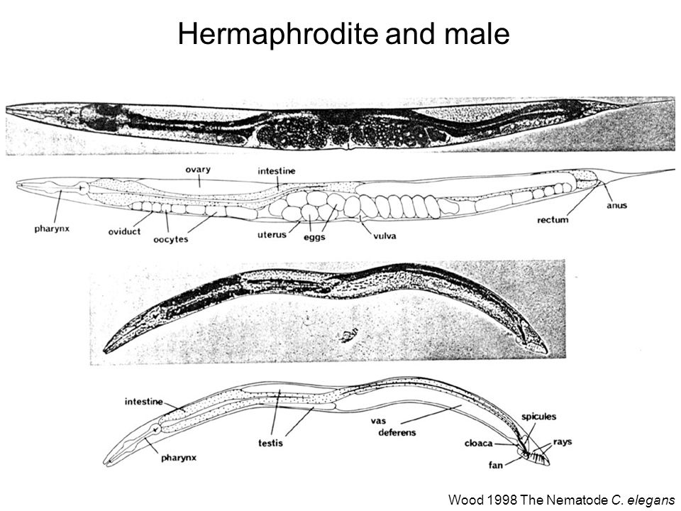 Hermaphrodite and male Wood 1998 The Nematode C. elegans