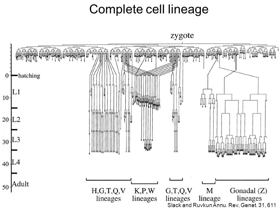 Complete cell lineage Slack and Ruvkun Annu. Rev, Genet. 31, 611