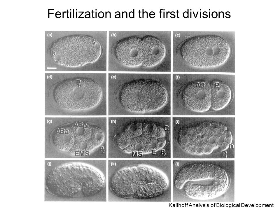 Fertilization and the first divisions Kalthoff Analysis of Biological Development