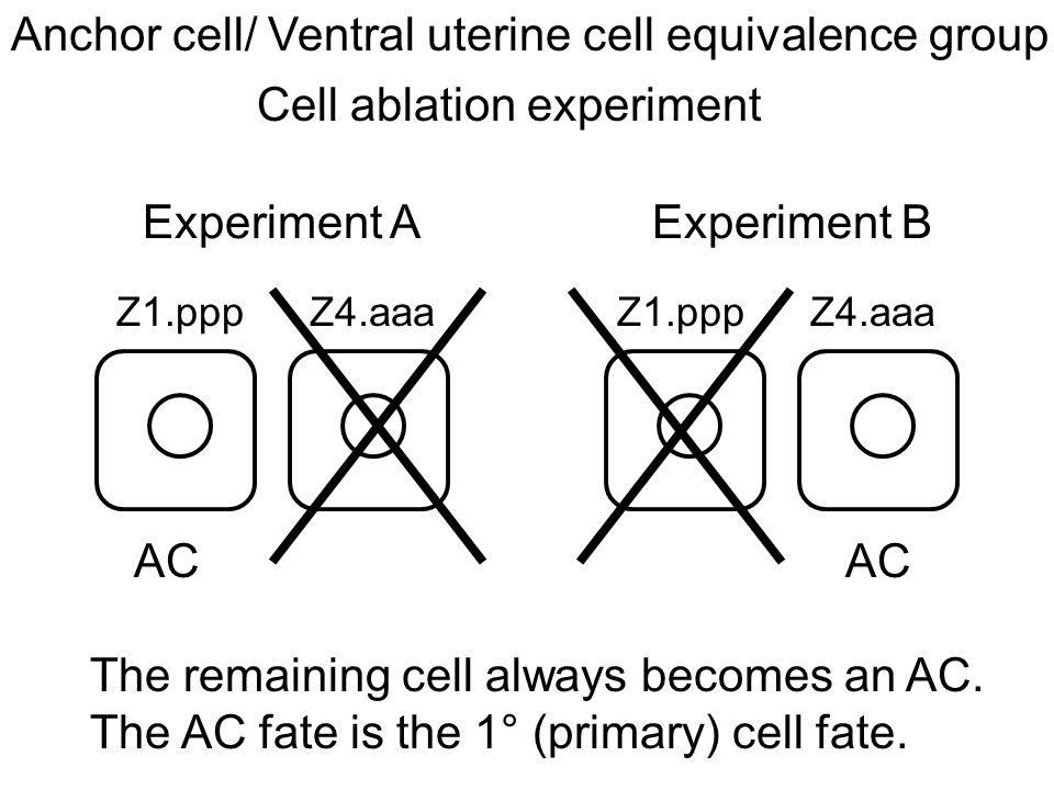 Z1.ppp Z4.aaa Experiment AExperiment B Anchor cell/ Ventral uterine cell equivalence group AC Cell ablation experiment The remaining cell always becomes an AC.