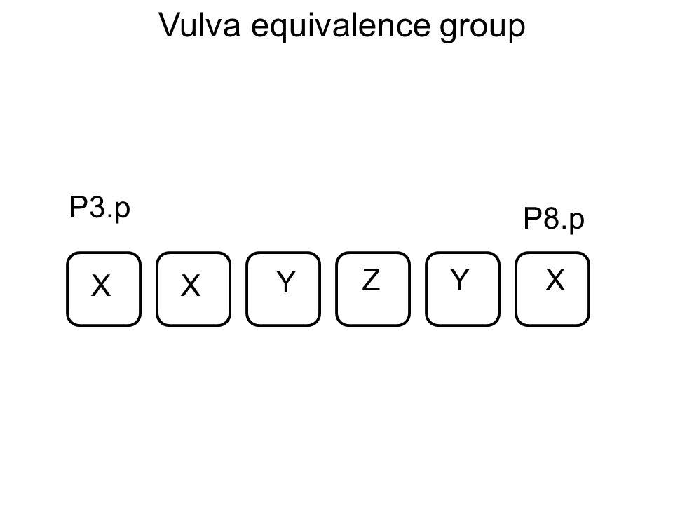 P3.p P8.p XX X Y YZ Vulva equivalence group